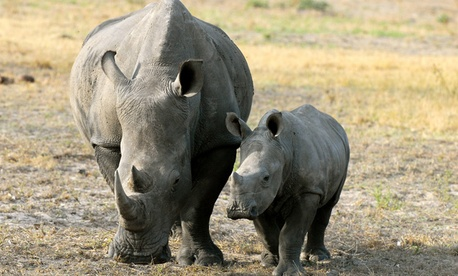 White rhinos in South Africa are critically endangered.