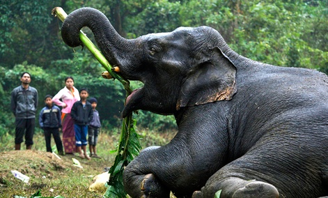 An injured wild elephant tries to eat a banana leaf with its trunk after it was attacked by poachers in Assam, India.