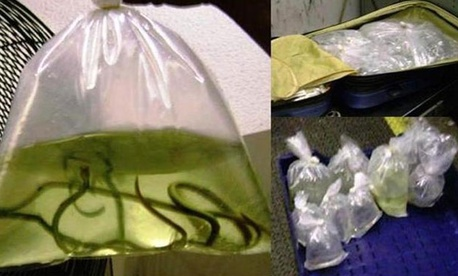 In Miami, TSA officers found a bag of eels.