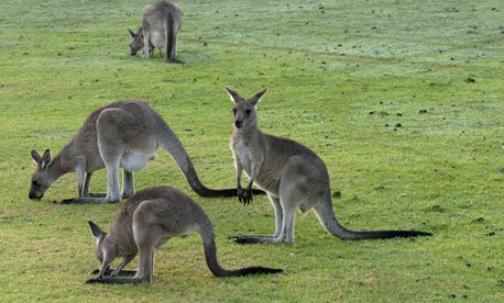 Contrary to popular belief, kangaroos do not have the right to vote in Australia.