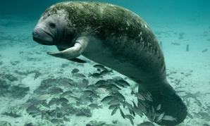 The Fish and Wildlife Service's work includes protecting endangered American species such as the Florida manatee.