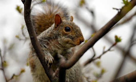 A squirrel sits in one of the Tulip Magnolia trees in the Rose Garden of the White House.