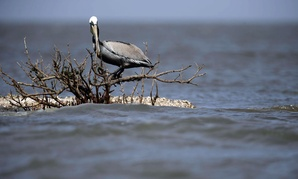 A brown pelican sits on dead mangrove, which was directly impacted by oil from the nation's worst offshore oil spill, off the coast of Barataria Bay in Plaquemines Parish, La.