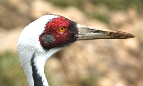 A Manchurian Red-naped Crane turns its head at the Columbus Zoo.
