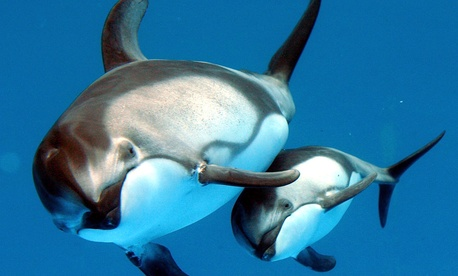 A two-month-old Pacific white-sided dolphin swims together with her mother.