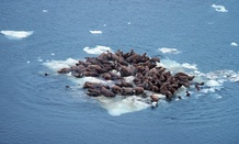 Groups of walruses usually gather on sea ice, but the sea ice is at much lower point than normal due to climate change, NOAA says.