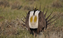 A male sage grouse is known for its elaborate courtship displays.