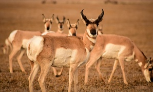 The Fish and Wildlife Service's Southwest Region is home to myriad species, including pronghorn.