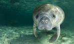 The West Indian Manatee is listed as an endangered species by Fish and Wildlife.