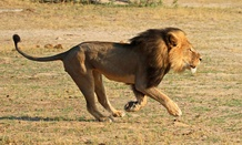 Cecil runs in Hwange National Park in 2014.