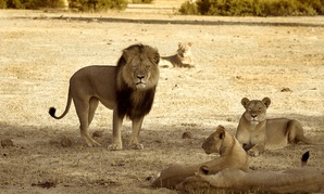 Cecil patrols among his pride in Hwange National Park in 2012.