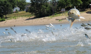 In this June 13, 2012 file photo, Asian carp, jolted by an electric current from a research boat, jump from the Illinois River near Havana, Ill.