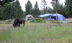 A bison walks by Yellowstone National Park's Bridge Bay Campground site in 2014.
