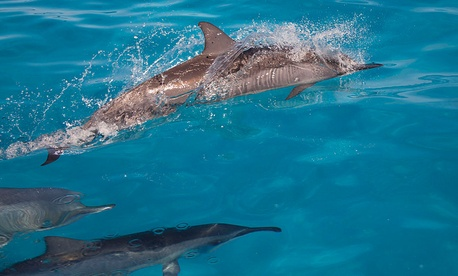 Spinner dolphins swim near Hawaii in 2012.