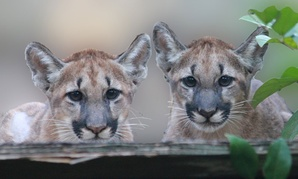 Two Florida panther cubs are photographed in 2011 near the Okefenokee National Wildlife Refuge.
