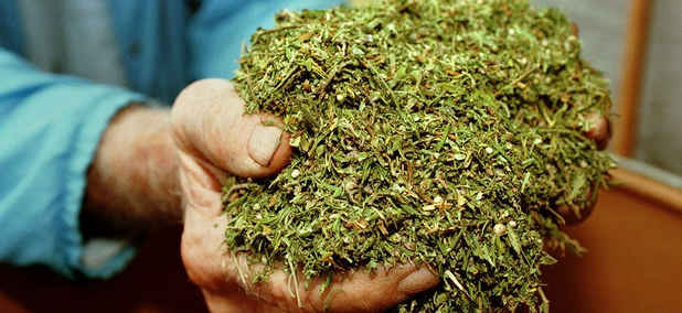 A man holds marijuana cultivated at the University of Mississippi.