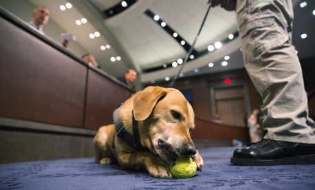 Reversa, part of a TSA passenger screening canine team, chews a ball during the hearing.