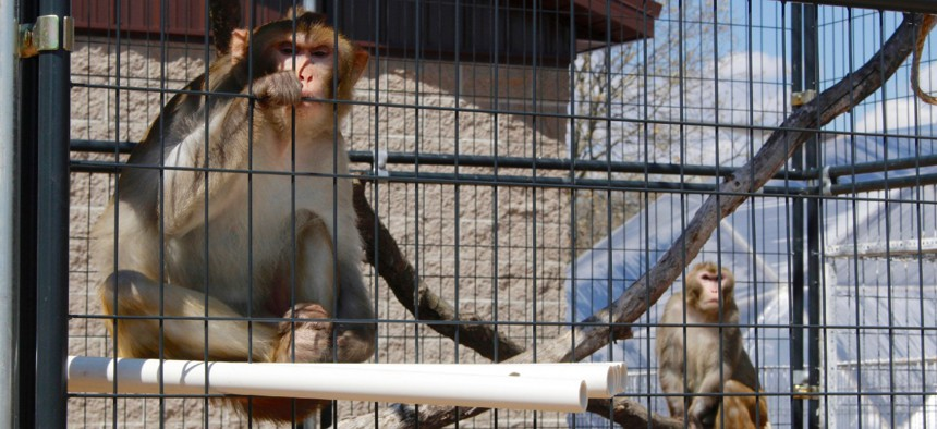 River, left, and Timon, both rhesus macaques, sit in an outdoor enclosure at the Primates Inc. sanctuary, in Westfield, Wis., in May 2019. More research labs are retiring primates to sanctuaries like Primates Inc., a 17-acre rural compound in central Wisconsin.