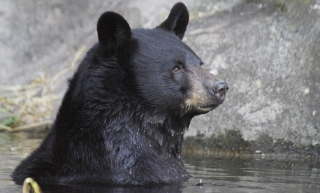 "Former Rep. Randy (Duke) Cunningham, R-Calif., says he will move to the wilderness where there are threats from ""black bears, cougars, and history of rabies."""