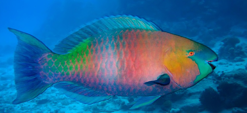The always changing parrotfish.