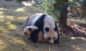 Panda cub Bao Bao enjoyed its first day outside at the National Zoo Tuesday.