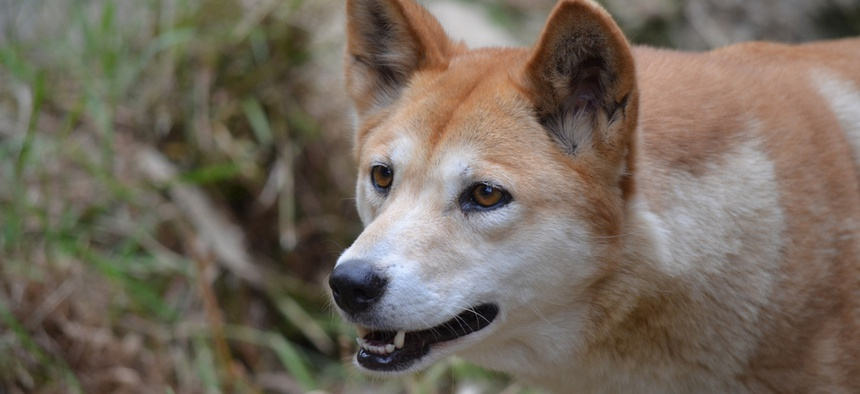 This is not FCC Chairman and former cable industry lobbyist Tom Wheeler. It is, in fact, a dingo.