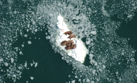 Climate change has affected sea ice in Alaska walrus habitats.