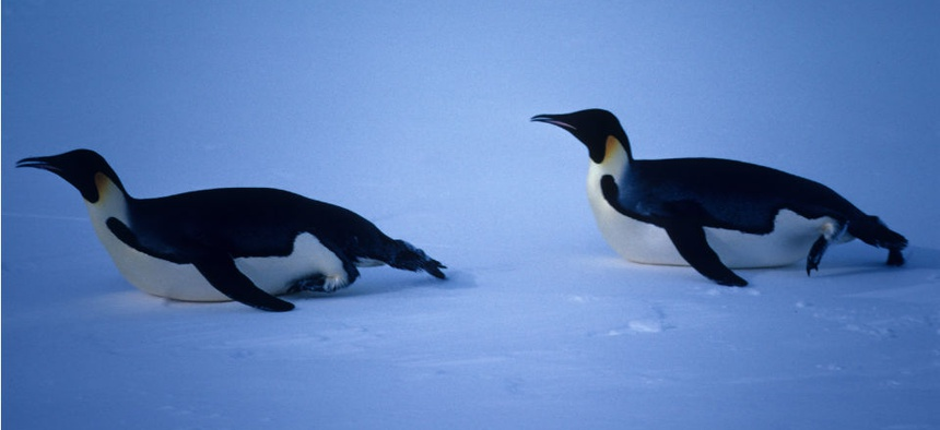 Sea ice provides mating habitats for Emperor penguins.