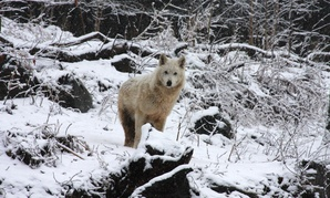 The gray wolves are native to the northern United States and are well-equipped to enjoy the weather.