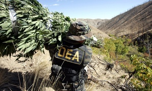 A Drug Enforcement Administration agent shoulders a bundle of marijuana plants down a steep slope  in 2005.