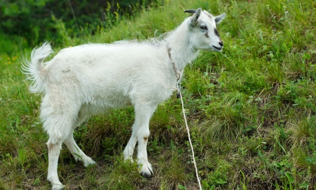 Some COOs say they feel like the sacrificial goat in Jurassic Park.