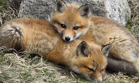 The Interior Department posted a photo of baby foxes at Maine's Acadia National Park over the summer.
