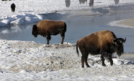 These bison near Yellowstone National Park's  Gibbon River do not need wireless Internet service.