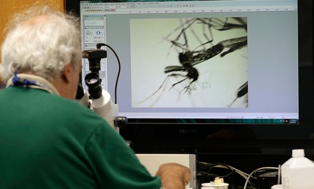 Evaristo Miqueli, a natural resources officer with Broward County Mosquito Control, looks through a microscope at Aedes aegypti mosquitoes in Florida Tuesday.