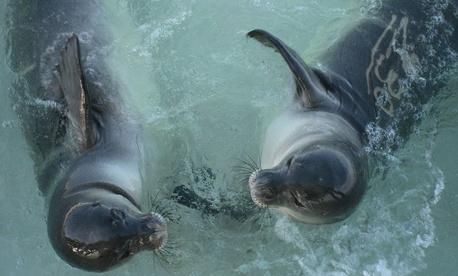 Two Hawaiian seal pups play at Papahānaumokuākea Marine National Monument.