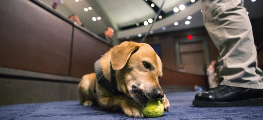 Reversa, part of a TSA passenger screening canine team, chews a ball during the hearing.