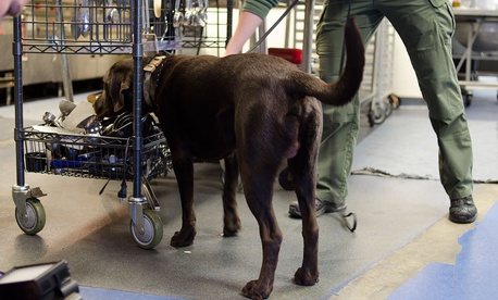 A dog from the Arlington, Va., Police Department participates in odor recognition trials Wednesday.