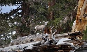 The endangered Sierra Nevada bighorn sheep.