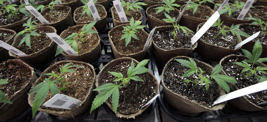 Newly transplanted cannabis cuttings grow in soilless media in pots July 12, 2018, at Sira Naturals medical marijuana cultivation facility, in Milford, Mass.