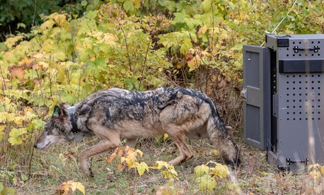 NPS released a female wolf on Isle Royale, Oct. 2, 2018