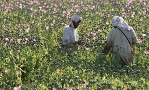The watchdog found that the $1.5 million-per-day effort to reduce dependence on the poppy harvest for the narcotics trade has failed, with poppy cultivation this year at four times the level of 2002.