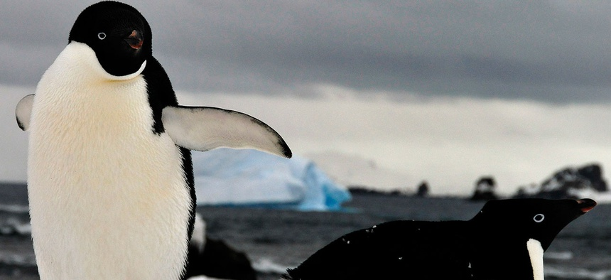 Adelie penguins rest on the snow on Livingston Island.