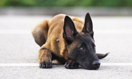 The State Department sends Belgian Malinois dogs to foreign governments to detective explosives.