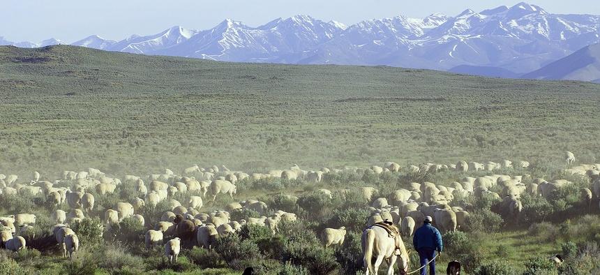 Sheep grazing on BLM land near Shoshone, Idaho.