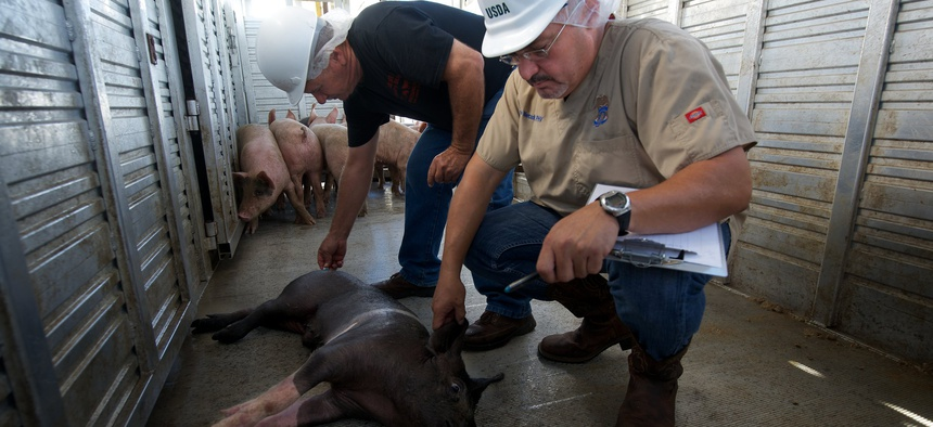 Veterinarian and a slaughterhouse worker examine a suspected injured or ill pig in 2013.