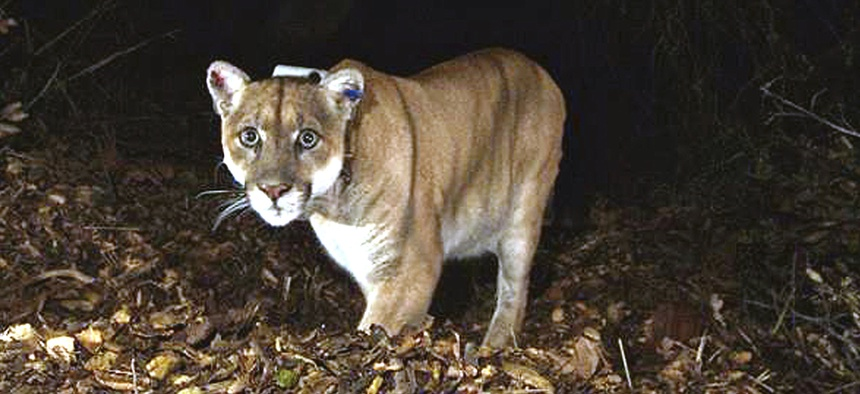 This November 2014 file photo provided by the U.S. National Park Service shows a mountain lion known as P-22, photographed in the Griffith Park area near downtown Los Angeles.